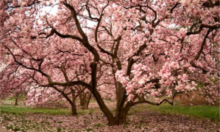 Can a Tree Teach Race Relations? Magnolia Justice, by Jana Laiz